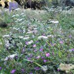bijenlint in volle bloei (1)