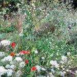 bijenlint in volle bloei (2)